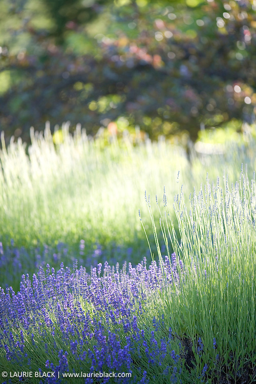 Lavender in summertime.