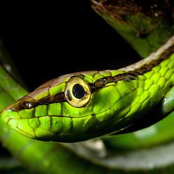 Snake, probably a green vine snake (Oxybelis fulgidus) - Las Piedras river, Madre de Dios, Peru
