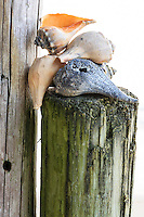While teaching a photo workshop I arranged this pile of whelk shells on a pier piling so the students and I could photograph them.