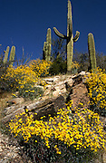 Wildflowers blanket the desert at the feet of saguaro cactus in the Sonoran Desert in Tucson, Arizona in the foothills of the Santa Catalina Mountains along Finger Rock Trail.