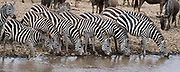 Plains zebras taking a drink in Mara River befor they cross the dangerous water as a part of their annual migration.