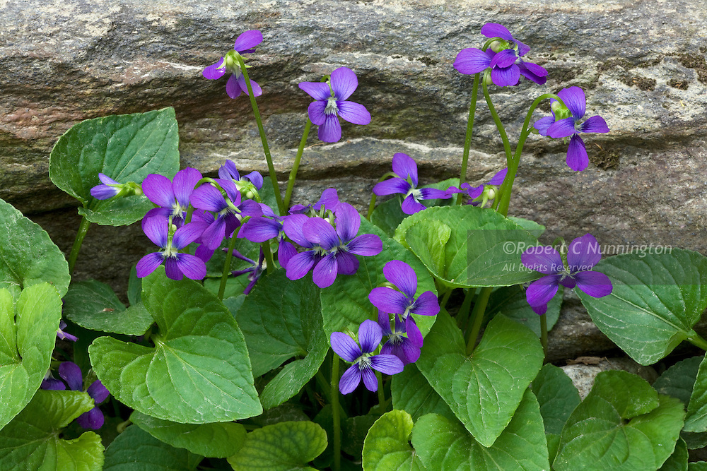 Wooly Blue Violets nestled against a rock. Great Smoky Mountains National Park, Tennessee, USA