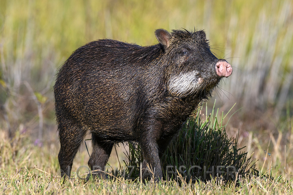 A collared peccary (Pecari tajacu) in the Pantanal, Mato Grosso do Sul, Brazil