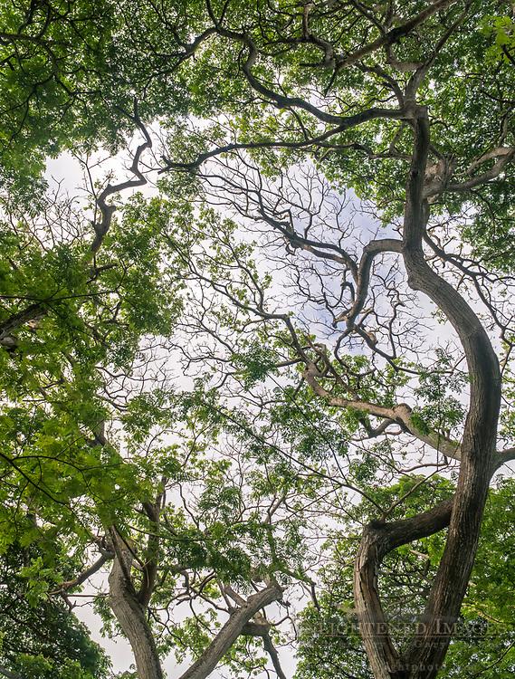 Trees in the Hanalei Valley National Wildlife Refuge, Hanalei, Kauai, Hawaii