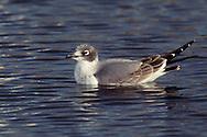 Franklin's Gull - Larus pipixcan - 1st winter