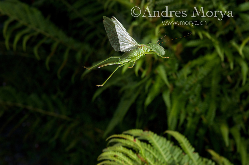Insect in Flight, High Speed Photographic Technique Great Green Bush-Cricket (Tettigonia viridissima). Is a  'katydids crickets' belonging to the family Tettigoniidae. Insect in Flight, High Speed Photographic Technique Image by Andres Morya
