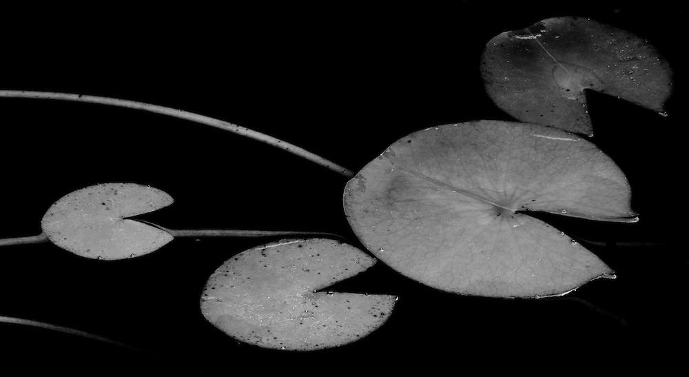 Lily pads, Ahwahnee, California