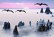Composite image of pelicans flying over cypress knees at sunset.