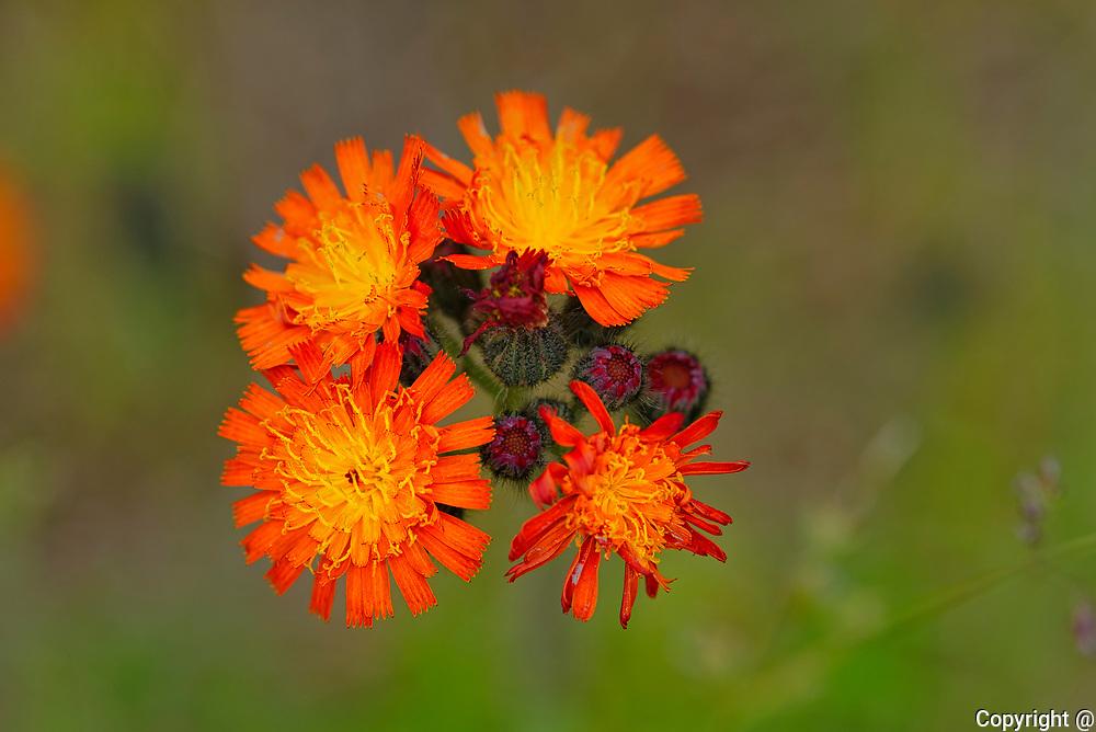 Orange Hawkweed or devil's paintbrush (Hieracium aurantiacum) blossoms<br />Kenora<br />Ontario<br />Canada