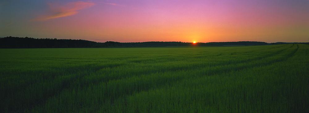 Rye field at dusk, Värmland, Sweden.