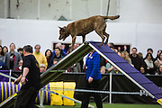 New York, NY - 8 February 2014. A dog goes over a ramp in agility trials at the Westminster Kennel Club dog show. The obstacle course also includes jumps and tunnels.