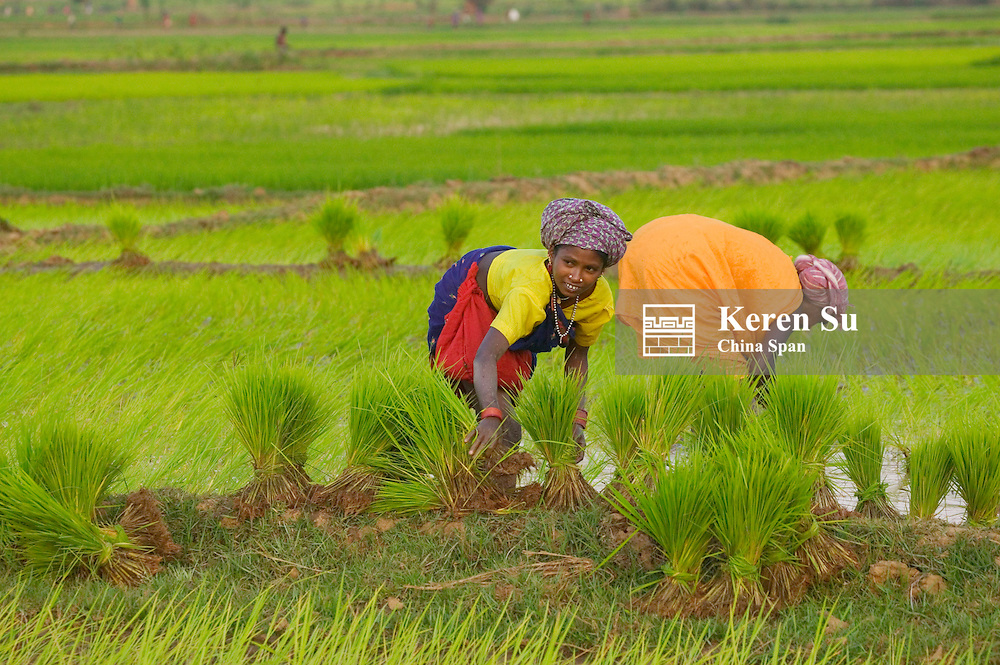 Farmers transplanting rice seedlings in the rice paddy, Orissa, India