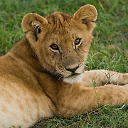 Lion cub lying in grass, Masai Mara, Kenya