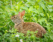 MARSH RABBIT, EATING