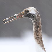 This is a juvenile Japanese crane (Grus japonensis) in a snowstorm. It is holding a rock in its beak, one that it picked up while foraging for food with its parents. This species is found in Siberia, Northeast China, Mongolia, Korea and northern Japan. The population in northern Japan is mostly non-migratory, remaining resident on the island of Hokkaido throughout the year. This species is listed as Endangered on the IUCN Red List.