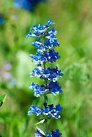 Blue penstemon is a wildflower that grows in layers on a single stem in mountain elevations.