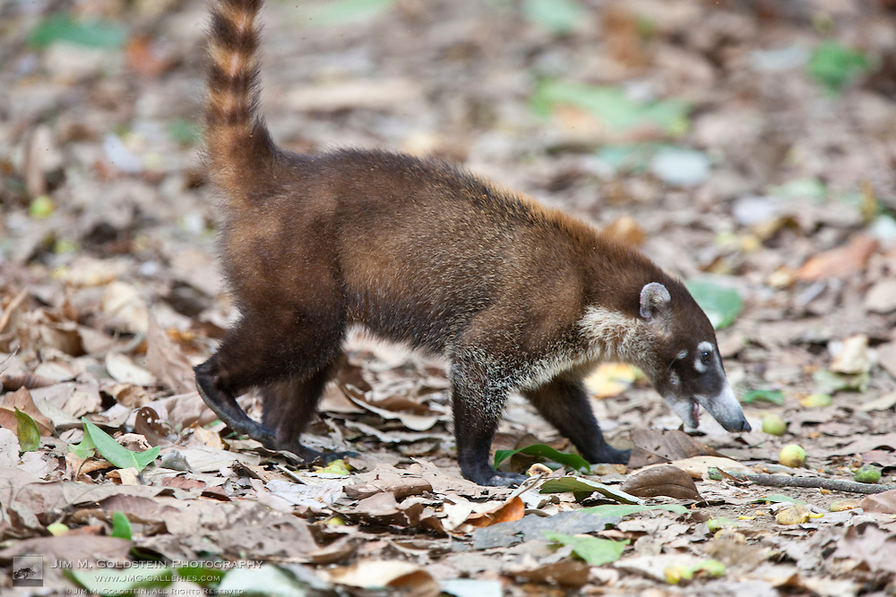 A White-nosed Coati (Nasua narica) eats fallen fruit on the jungle floor of Corcovado National Park, Costa Rica