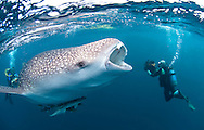 whale shark during footage by two divers. Whale shark is opening his mouth trying sucking some feed in the water - Papua indonesia Cenderawasih bay