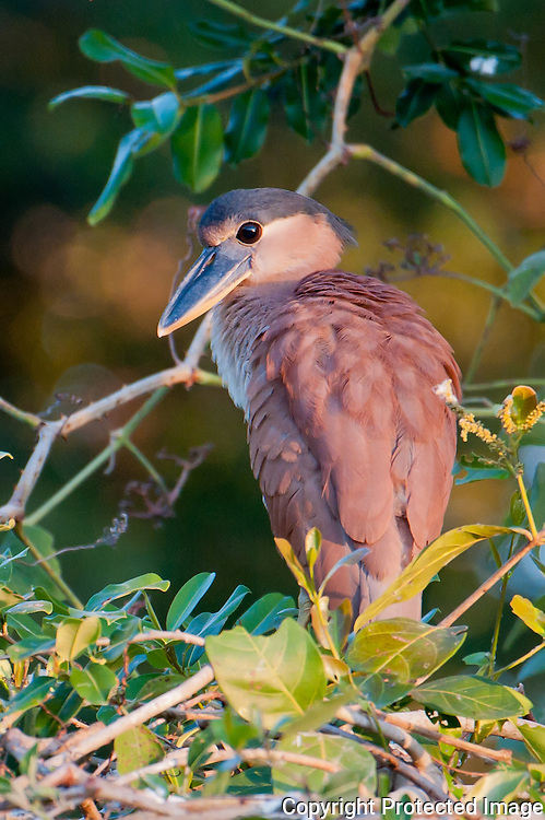 Boat Billed Heron along the Pixiam in the Pantanal, Brazil, Summer