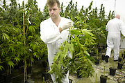 Harvesting of medicinal cannabis at Bedrocan on February 5, 2007 in Veendam, The Netherlands.  Since March 2005 Bedrocan BV is the only company contracted by the Dutch Ministry of Health for the growth and production of medicinal Cannabis. This medicinal Cannabis can be prescribed by doctors for both humans and animals. Cannabis is most famous for its use as a recreational soft drug. It?s available at ?coffeeshops? throughout the Netherlands. Coffeeshops purchase their products from illegal growers or grow it illegally themselves. The Netherlands have no laws or legal procedures that allow for the legal growth or use of recreational Cannabis. The fact that it is allowed to exist has to do with the Dutch tolerance policy, by which the possession of small amounts of Cannabis is not actively prosecuted. .Cannabis is less well known for its medicinal use. But medicinal Cannabis has been available on a doctors prescription in the Netherlands since September 2003. The growth of Cannabis for medicinal use has been legally permitted since 17 march 2003.