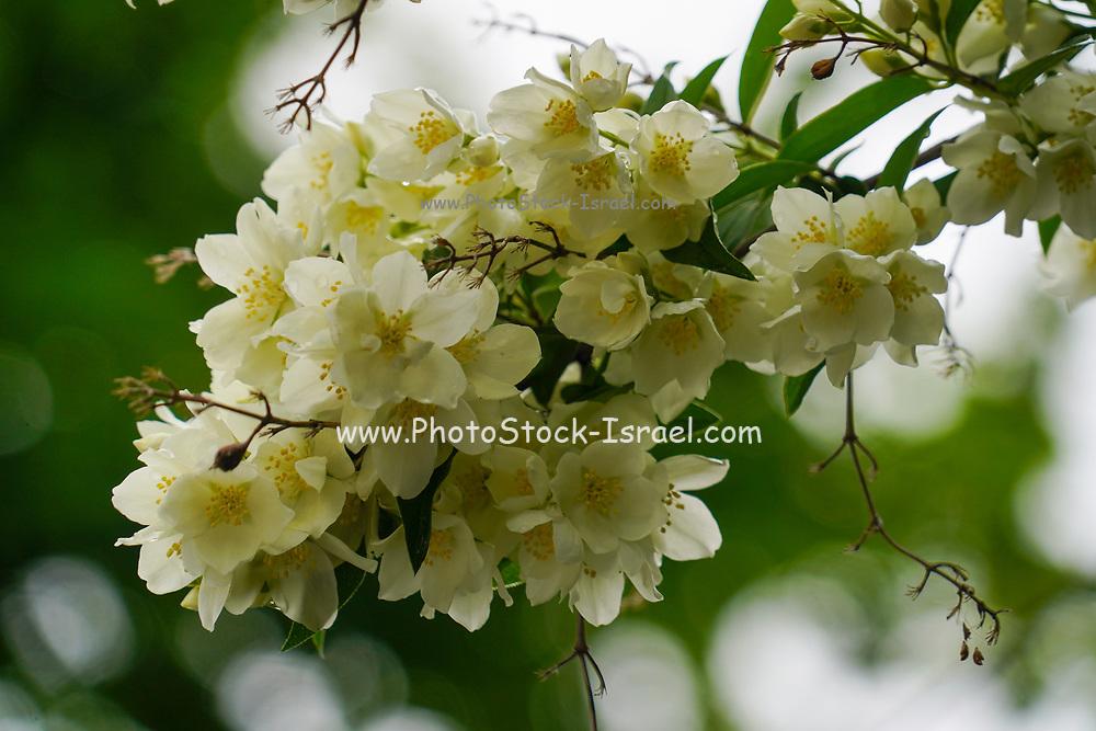 Beautiful white flower in a garden in Bucharest, Romania