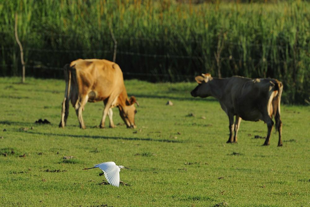 Little Egrets (Egretta Garzetta) and cows. Velipoja, Albania June 2009