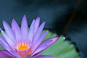 A purple water lily in a water pond in a Waikiki hotel.
