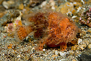 Hairy or Striated Frogfish, Antennarius striatus, photographed in Lembeh Strait, Indonesia