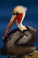 Close view of a brown pelican (Pelecanus Occidentalis) in breeding plumage.