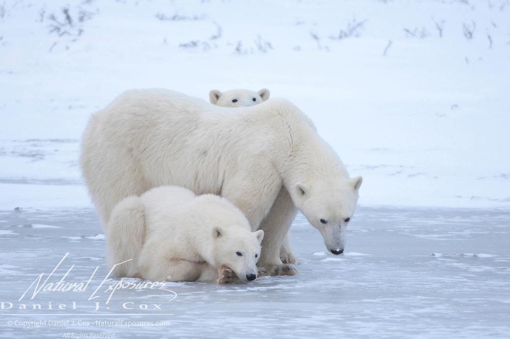 Polar Bear (Ursus maritimus) mother and her cubs. Cape Churchill, Manitoba, Canada