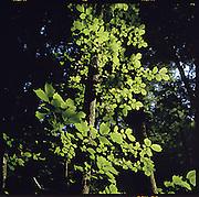 Mischwald: Buche im Sonnenlicht in einem Wald. Feuilles d'un Hêtre illuminées dans une forêt sombre. © Romano P. Riedo