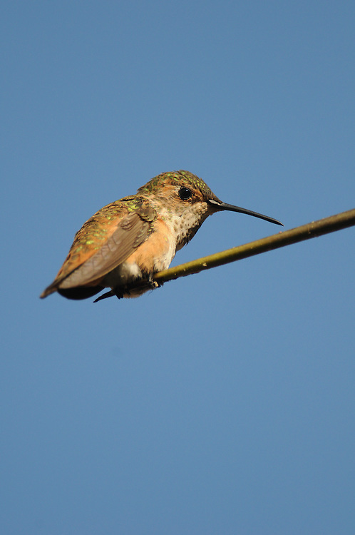Rufous Hummingbird perched on the end of a plant in Anaheim, California.
