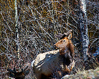 Rocky Mountain Elk with a scraggly coat after a long winter in Rocky Mountain National Park. Image taken with a Nikon D300 camera and 80-400 mm VR lens (ISO 200, 400 mm, f/8, 1/320 sec).