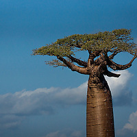 The Adansonia grandidieri or Grandidier's baobab is endemic to the island of Madagascar.  It is an endangered species due to the growing of agricultural land.  The baobab trees can reach up to 80 to 100 feet.