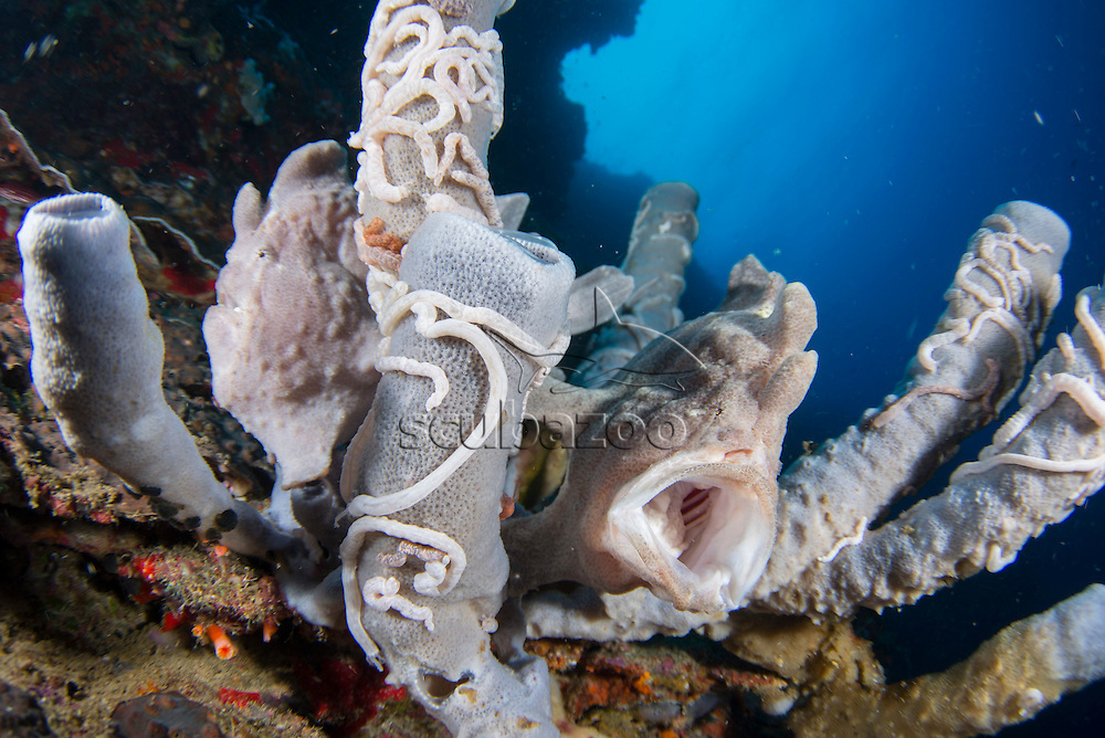 2 grey Giant Frogfish, Antennarius commersoni, resting on grey Vase Sponges on a reef wall, with one of them yawning, Pescador Island, Cebu, Philippines.
