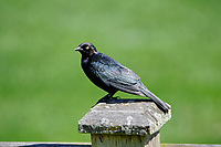 Brewer s Blackbird uphagus cyanocephalus Langley British Columbia Canada