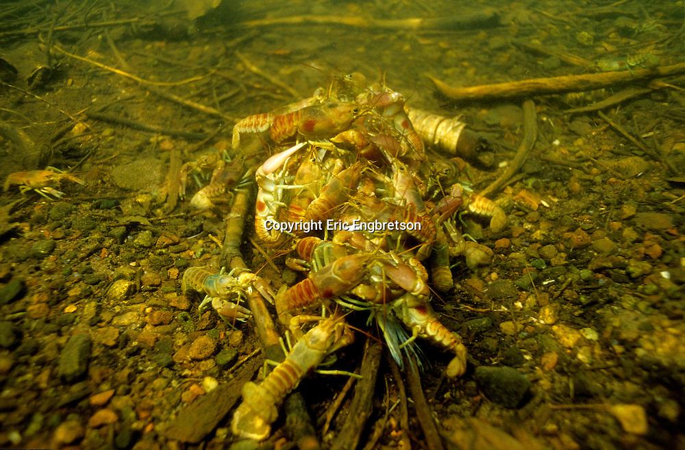 Group of Rusty Crayfish feeding on a dead fish<br /> <br /> ENGBRETSON UNDERWATER PHOTO