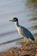 Yellow-crowned Night Heron, Nyctanassa violacea, wading bird by lagoon in wetlands on Captiva Island, Florida USA