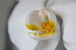 White Phaelenopsis orchid, philippinensis#5