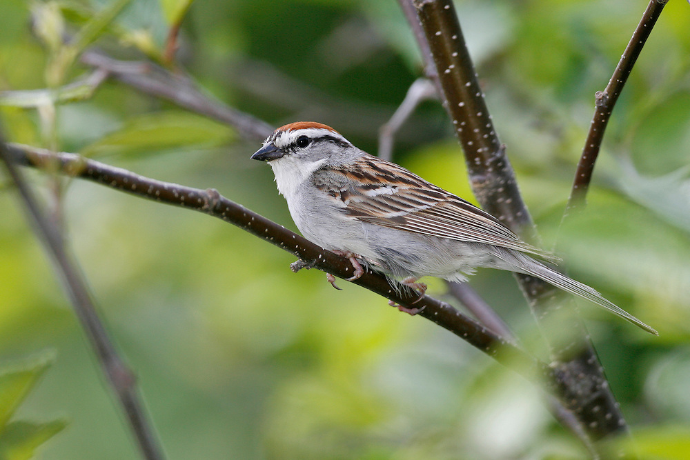 Chipping Sparrow - Spizella passerina - Adult breeding