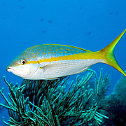Yellowtail Snapper feed in open water above reefs in Tropical West Atlantic; picture taken Grand Turk.