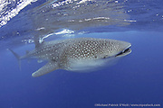 A Whale Shark, Rhincodon typus, feeds on fish eggs and plankton offshore Cancun and Isla Mujeres, Mexico. Every summer, hundreds of these massive fish gather in the same area to feed and socialize. The Whale Shark is the world's largest fish, reaching roughly 40 ft. in length.