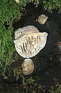 Oak Mazegill - Daedalea quercina