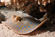 The bluespotted ribbontail ray (Taeniura lymma) is a species of stingray in the family Dasyatidae. Found from the intertidal zone to a depth of 30 m (100 ft), this species is common throughout the tropical Indian and western Pacific Oceans in nearshore, coral reef-associated habitats. It is a fairly small ray, not exceeding 35 cm (14 in) in width, with a mostly smooth, oval pectoral fin disc, large protruding eyes, and a relatively short and thick tail with a deep fin fold underneath. It can be easily identified by its striking color pattern of many electric blue spots on a yellowish background, with a pair of blue stripes on the tail...At night, small groups of bluespotted ribbontail rays follow the rising tide onto sandy flats to root for small benthic invertebrates and bony fishes in the sediment. When the tide recedes, the rays separate and withdraw to shelters on the reef. Reproduction is aplacental viviparous, with females giving birth to litters of up to seven young. This ray is capable of injuring humans with its venomous tail spines, though it prefers to flee if threatened. Because of its beauty and size, the bluespotted ribbontail ray is popular with private aquarists despite being poorly suited to captivity. The International Union for Conservation of Nature (IUCN) has listed this species as Near Threatened, as it faces widespread habitat degradation and intensive fishing pressure throughout its range.