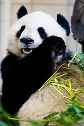 20.04.2011, Wien, AUT, Feature, im Bild großer Panda im Tierpark von Schloss Schönbrunn, EXPA Pictures © 2011, PhotoCredit: EXPA/ Erwin Scheriau
