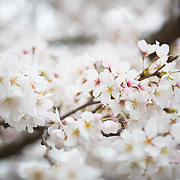Japanese Cherry Blossoms in bloom in Shinjuku Goen National Park, Tokyo.