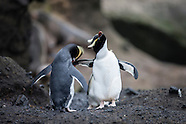 Eudyptes sclateri (Erect-crested penguin)