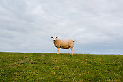 Portrait of a sheeps standing on a dike, Friesland province