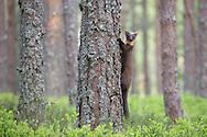 Pine marten (Martes martes) foraging in pine woodland, Glenfeshie, Scotland.