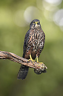 New Zealand Falcon - Falco novaeseelandiae